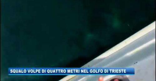 Uno squalo volpe di 4 metri nel Golfo di Trieste